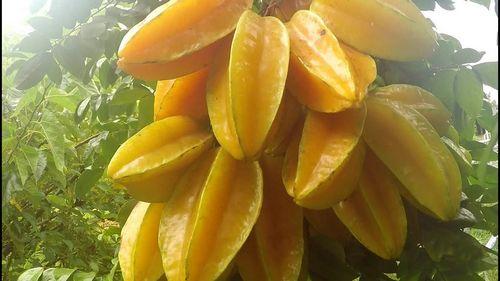 Star Fruit Trees